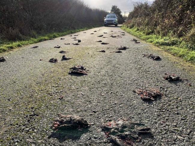 Starlings found on the road in Bodedern, Anglesey. Picture: North Wales Police Rural Crime Team
