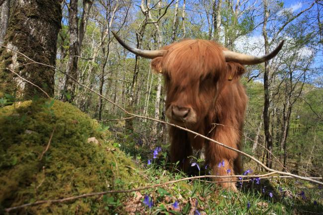 Highland Cattle are helping to protect the Celtic Rainforest