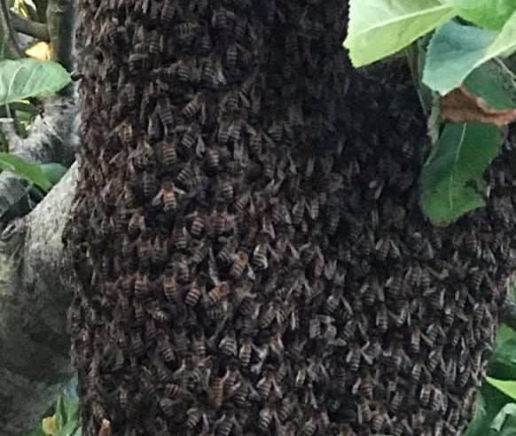 The bees which had attempted to set up camp at Anglesey Sea Zoo. PICTURE: Anglesey Sea Zoo