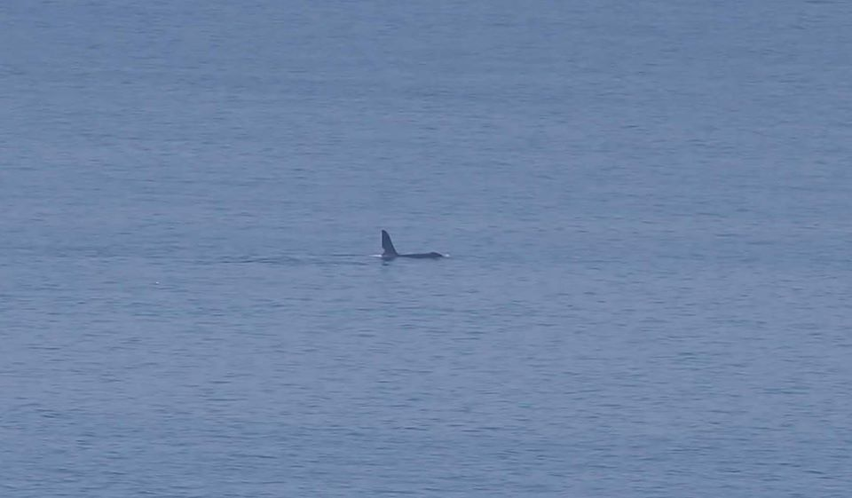 Picture taken by Holly Page of orca near South Stack, Holyhead.