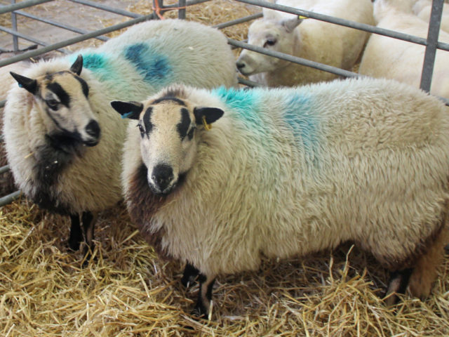 Sheep at a prevvious winter show